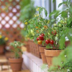 Выращивание маленьких помидоров на балконе