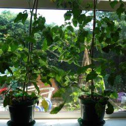 Выращивание рассады огурцов на лоджии