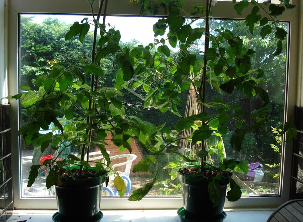 Фото огурцы и помидоры на балконе состоит двух