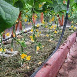 Выращивание огурцов на открытом балконе