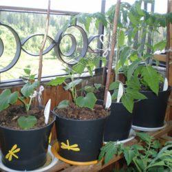 Выращивание огурцов на маленьком балконе