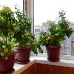 Выращивание на балконе и лоджии