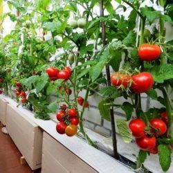Выращивание помидоров на остекленном балконе