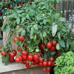 Выращивание помидоров на маленькой лоджии и балконе
