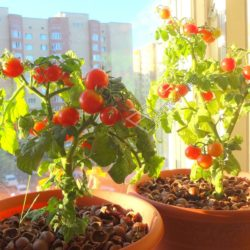 Выращивание помидоров на балконе в горшках