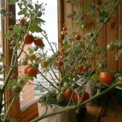 Выращивание помидоров в условиях балкона и лоджии