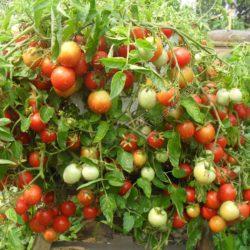 Выращивание помидоров на балконе и лоджии