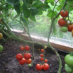 Выращивание помидоров на открытом балконе